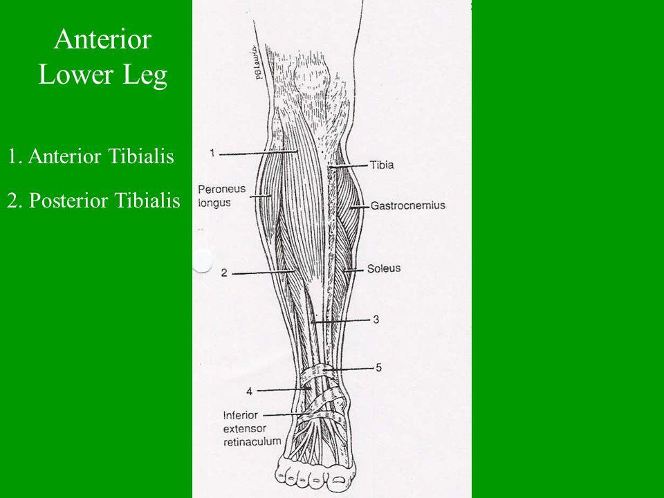 Anterior Lower Leg 1. Anterior Tibialis 2. Posterior Tibialis