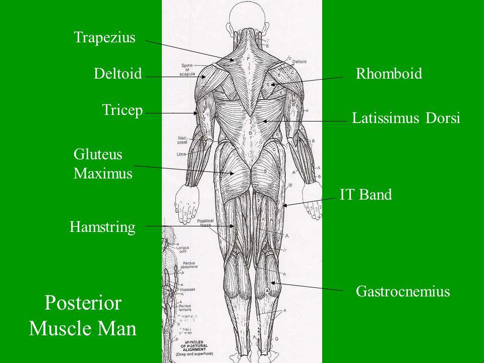 Posterior Muscle Man Trapezius DeltoidRhomboid Latissimus Dorsi Tricep Gluteus Maximus IT Band Hamstring Gastrocnemius