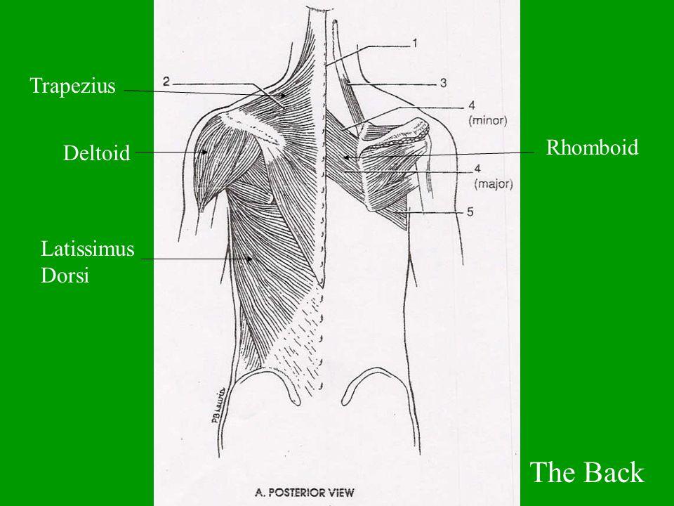 The Back Deltoid Trapezius Latissimus Dorsi Rhomboid