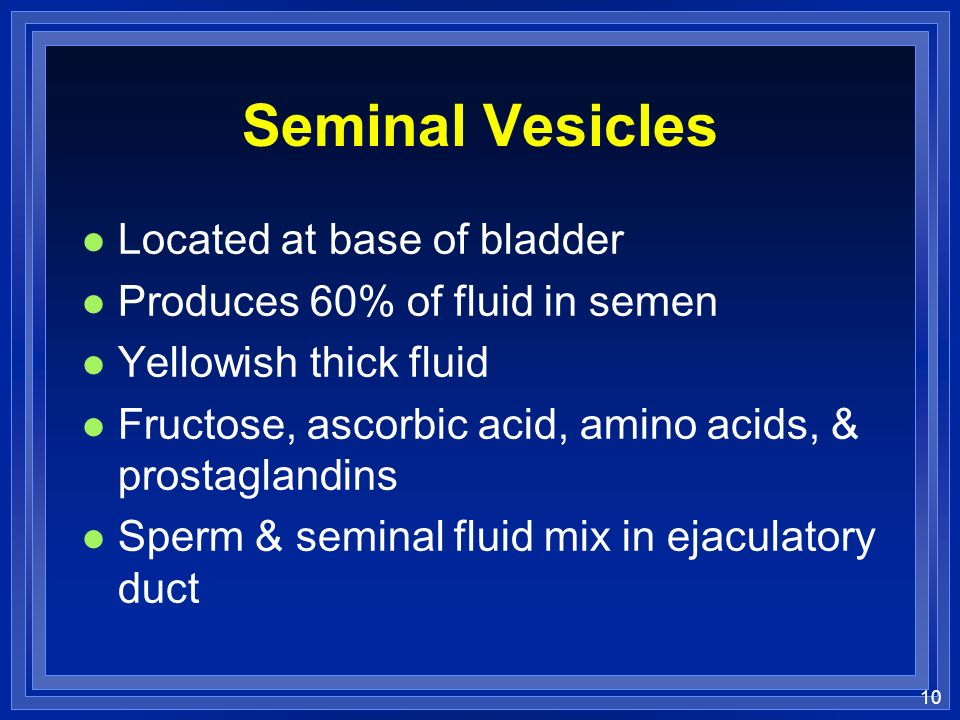 10 Seminal Vesicles l Located at base of bladder l Produces 60% of fluid in semen l Yellowish thick fluid l Fructose, ascorbic acid, amino acids, & pr