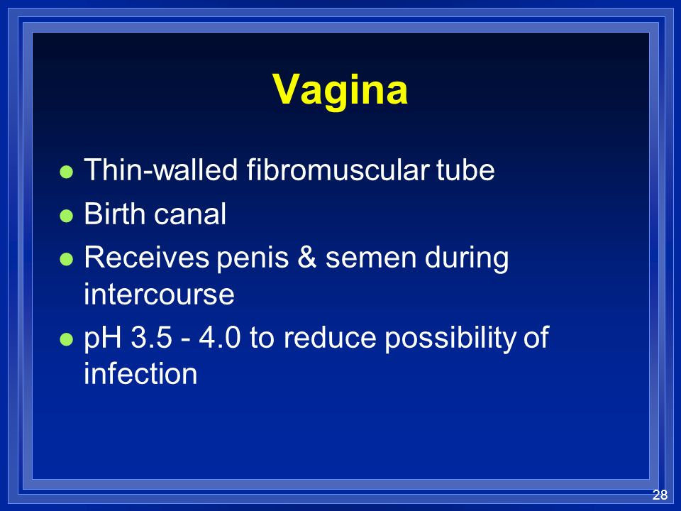 28 Vagina l Thin-walled fibromuscular tube l Birth canal l Receives penis & semen during intercourse l pH 3.5 - 4.0 to reduce possibility of infection