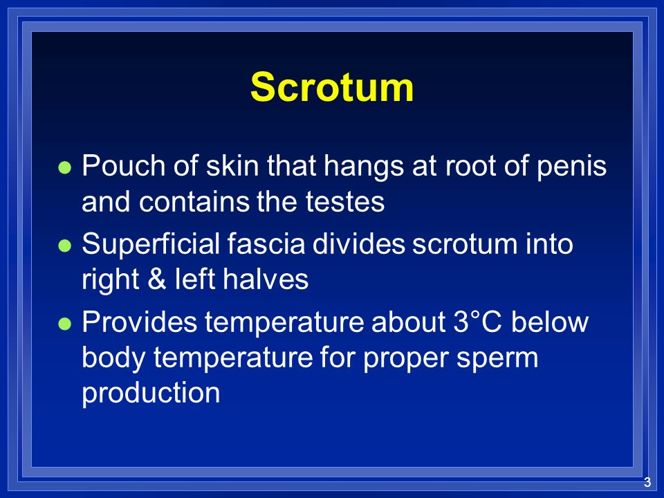 3 Scrotum l Pouch of skin that hangs at root of penis and contains the testes l Superficial fascia divides scrotum into right & left halves l Provides