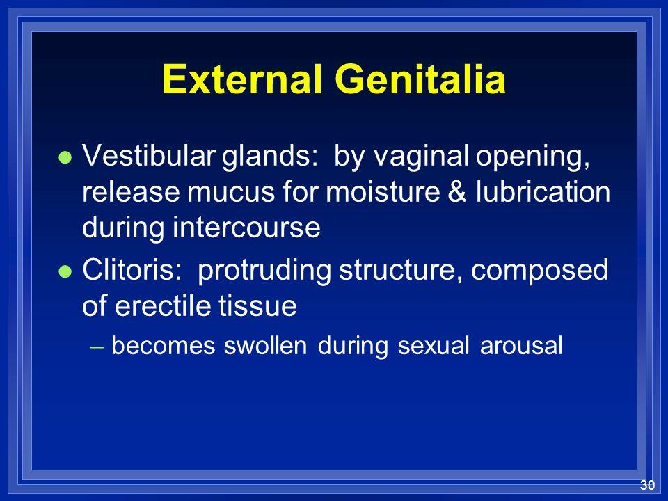 30 External Genitalia l Vestibular glands: by vaginal opening, release mucus for moisture & lubrication during intercourse l Clitoris: protruding stru