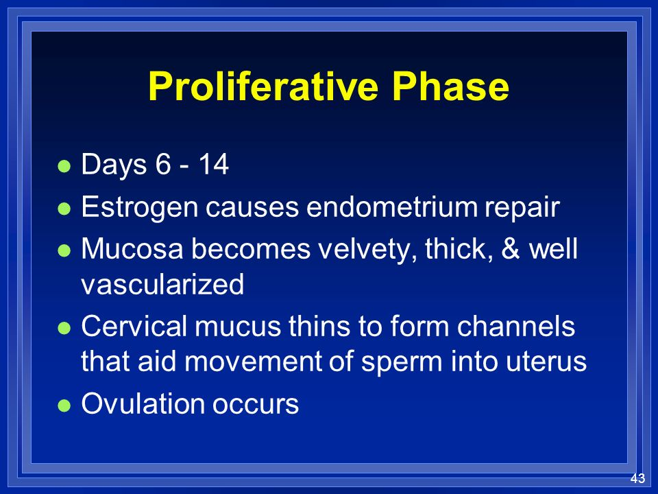 43 Proliferative Phase l Days 6 - 14 l Estrogen causes endometrium repair l Mucosa becomes velvety, thick, & well vascularized l Cervical mucus thins