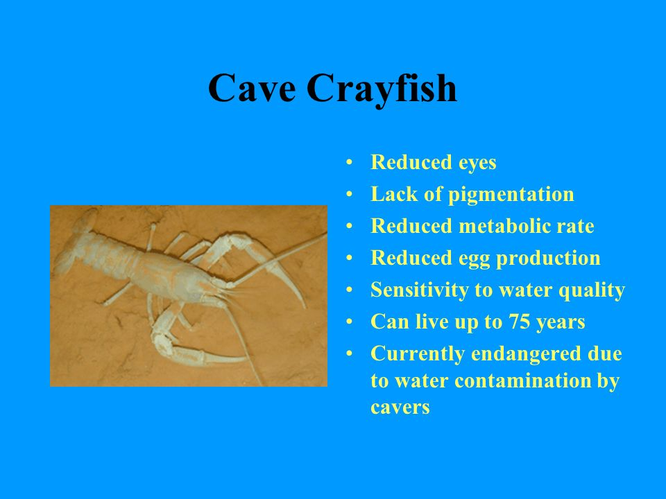 Cave Crayfish Reduced eyes Lack of pigmentation Reduced metabolic rate Reduced egg production Sensitivity to water quality Can live up to 75 years Currently endangered due to water contamination by cavers