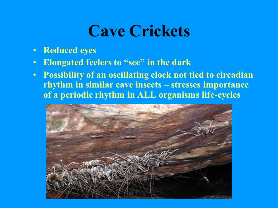 Cave Crickets Reduced eyes Elongated feelers to see in the dark Possibility of an oscillating clock not tied to circadian rhythm in similar cave insects – stresses importance of a periodic rhythm in ALL organisms life-cycles