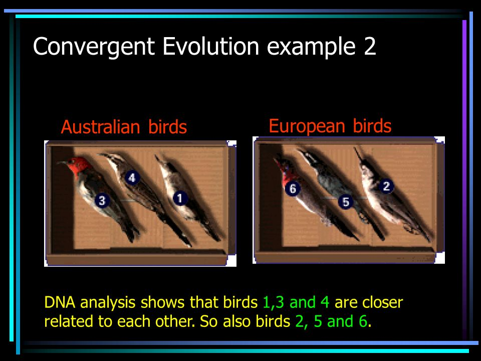 Convergent Evolution example 2 Australian birds European birds DNA analysis shows that birds 1,3 and 4 are closer related to each other. So also birds