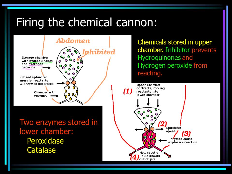 Firing the chemical cannon: Chemicals stored in upper chamber. Inhibitor prevents Hydroquinones and Hydrogen peroxide from reacting. Two enzymes store