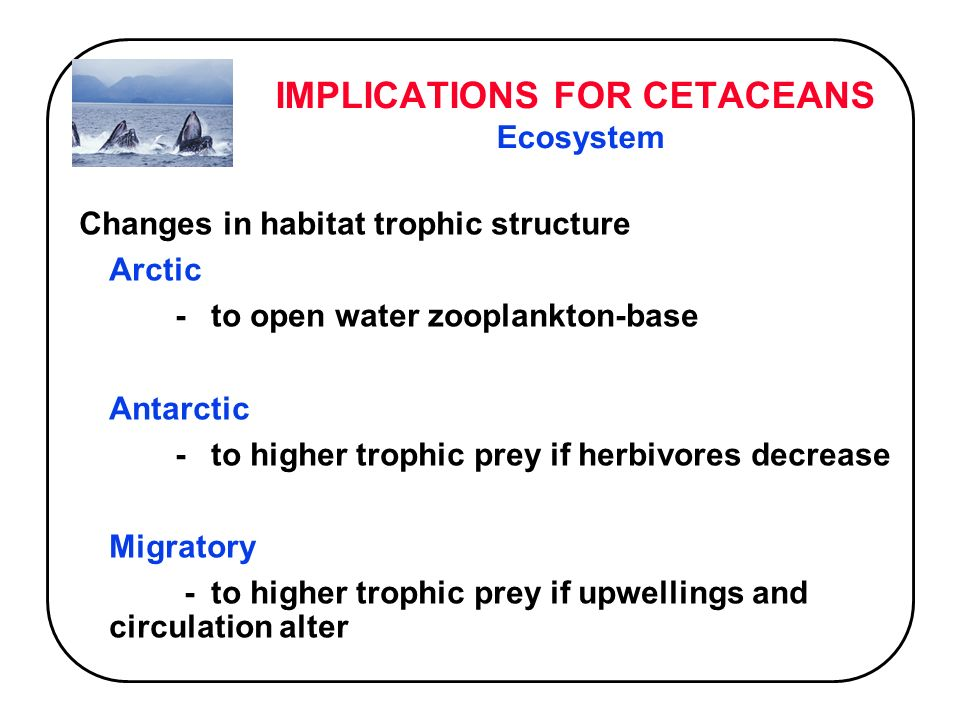 IMPLICATIONS FOR CETACEANS Ecosystem Changes in habitat trophic structure Arctic -to open water zooplankton-base Antarctic -to higher trophic prey if herbivores decrease Migratory -to higher trophic prey if upwellings and circulation alter