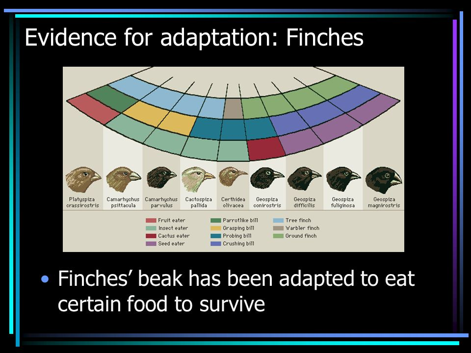 Evidence for adaptation: Finches Finches beak has been adapted to eat certain food to survive