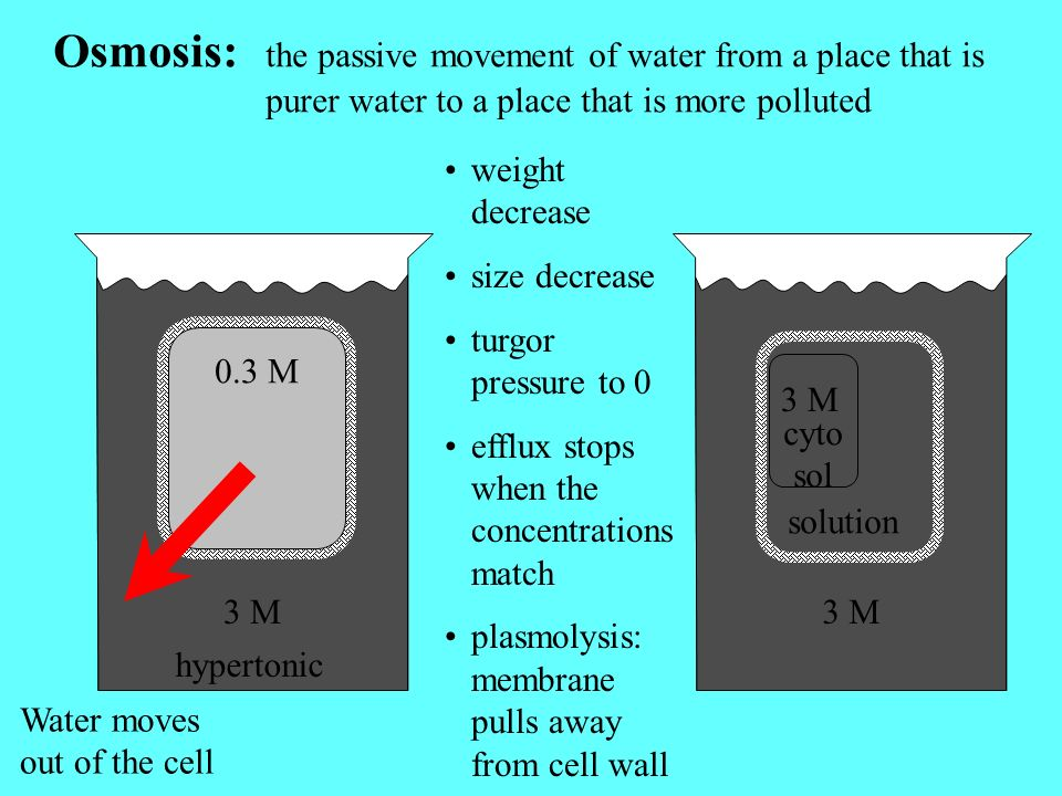 3 M Osmosis: the passive movement of water from a place that is purer water to a place that is more polluted 0.3 M 3 M hypertonic Water moves out of the cell weight decrease size decrease turgor pressure to 0 efflux stops when the concentrations match plasmolysis: membrane pulls away from cell wall 3 M cyto sol solution