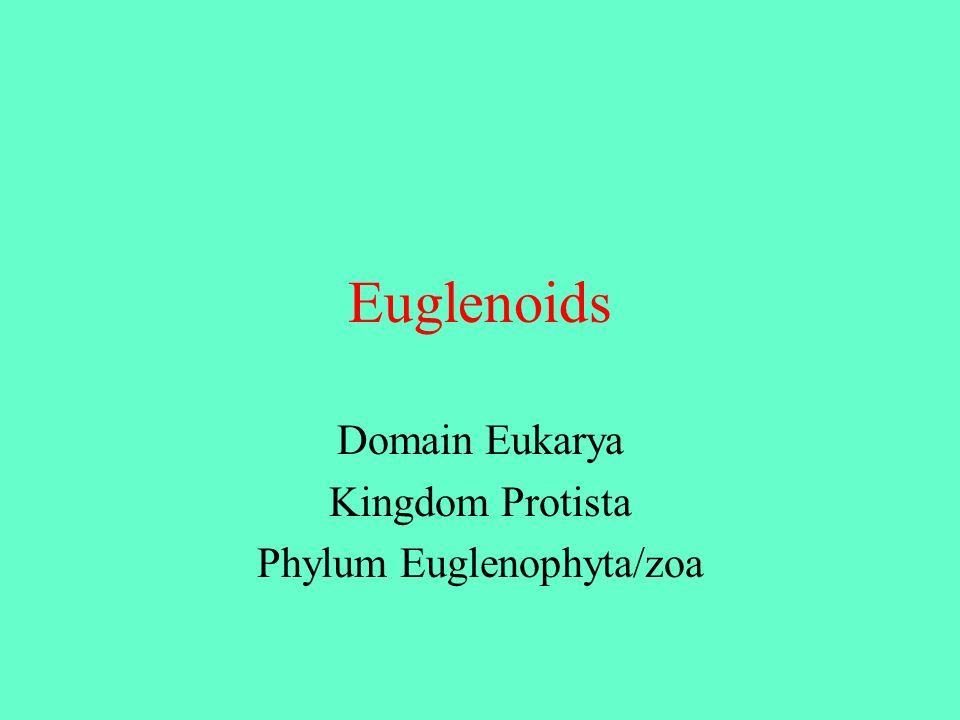 Euglenoids Domain Eukarya Kingdom Protista Phylum Euglenophyta/zoa