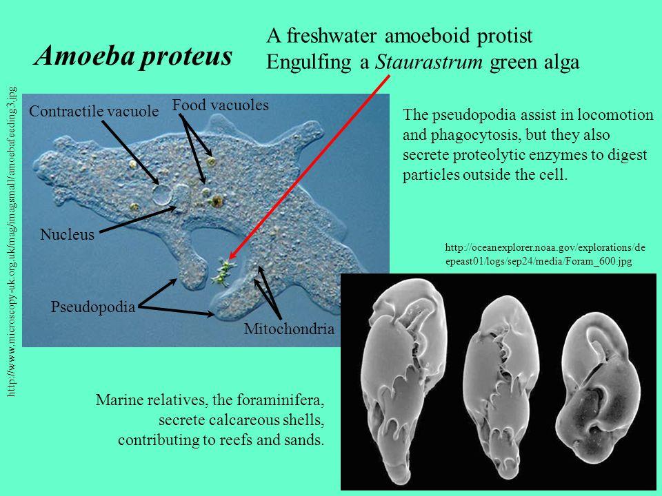 http://www.microscopy-uk.org.uk/mag/imagsmall/amoebafeeding3.jpg Pseudopodia Contractile vacuole Nucleus Food vacuoles Mitochondria Amoeba proteus A f