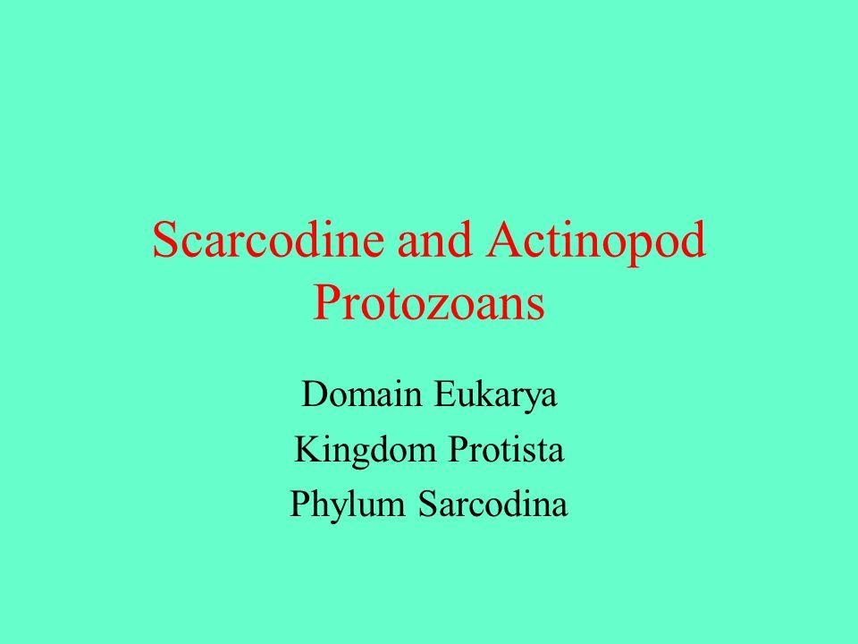 Scarcodine and Actinopod Protozoans Domain Eukarya Kingdom Protista Phylum Sarcodina