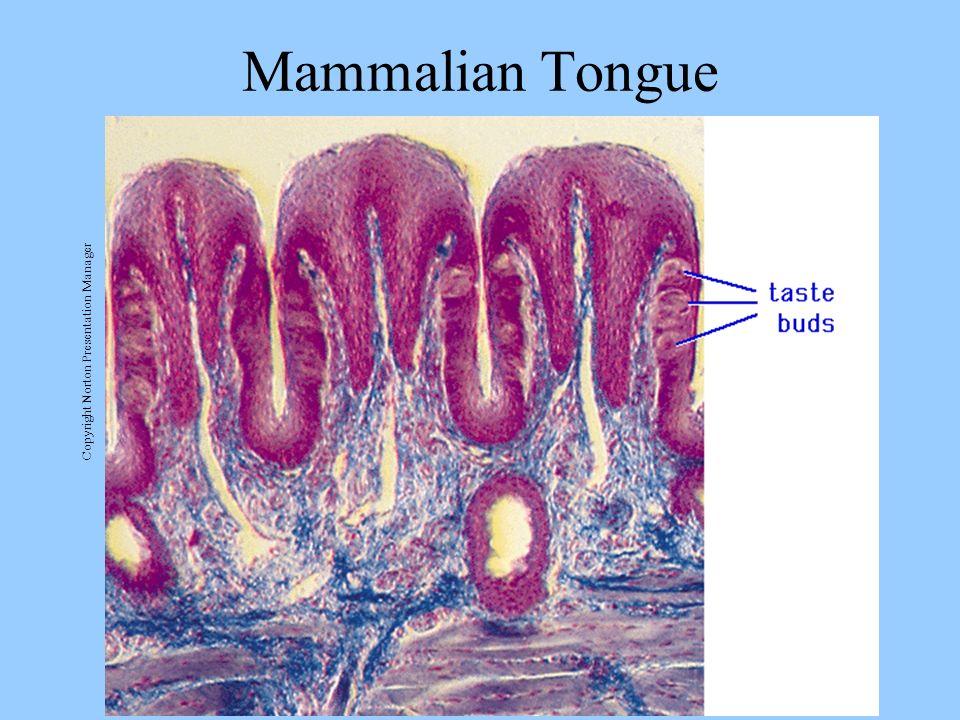 Mammalian Tongue Copyright Norton Presentation Manager