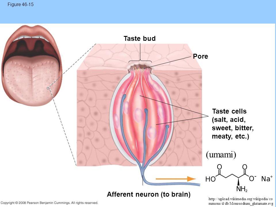 Figure 46-15 Taste bud Pore Taste cells (salt, acid, sweet, bitter, meaty, etc.) Afferent neuron (to brain) (umami) http://upload.wikimedia.org/wikipe