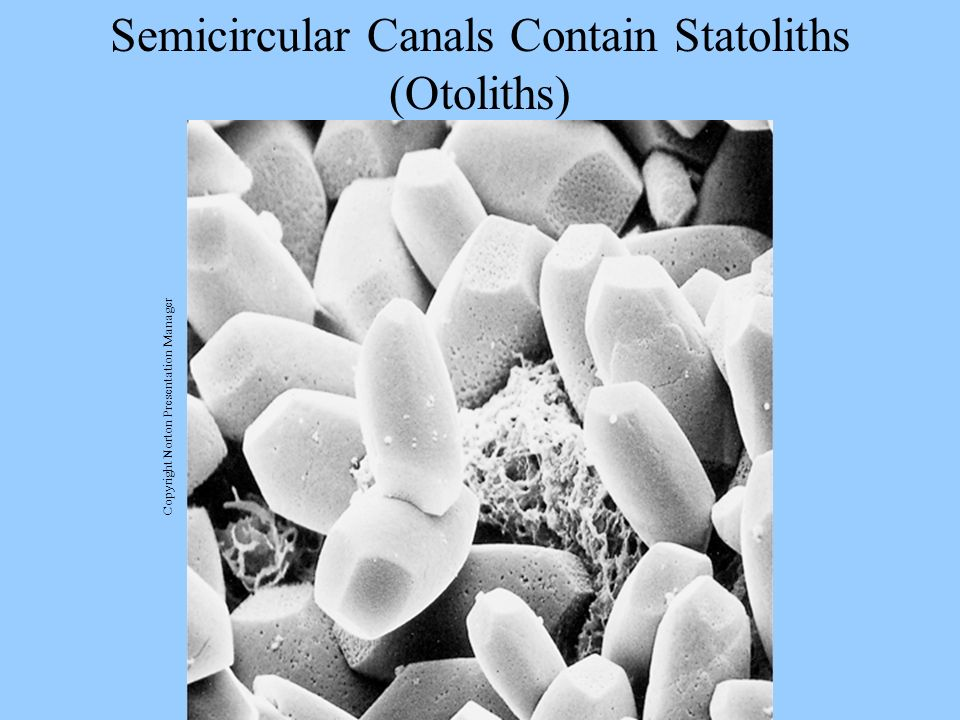 Semicircular Canals Contain Statoliths (Otoliths) Copyright Norton Presentation Manager
