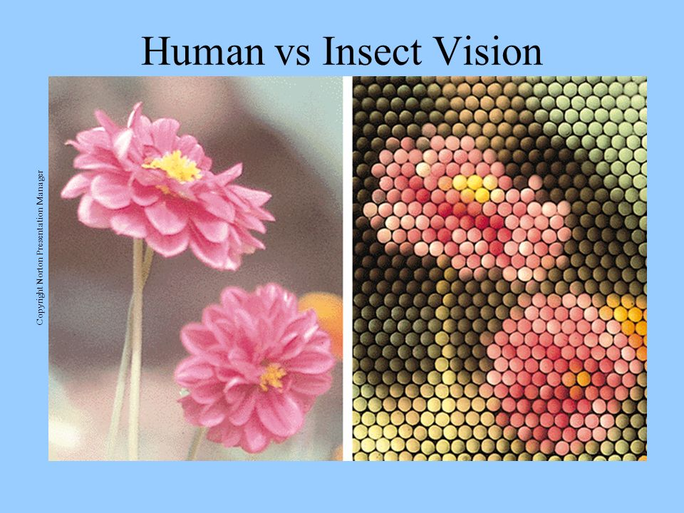 Human vs Insect Vision Copyright Norton Presentation Manager