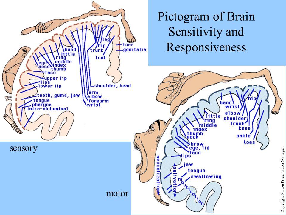 sensory motor Pictogram of Brain Sensitivity and Responsiveness Copyright Norton Presentation Manager