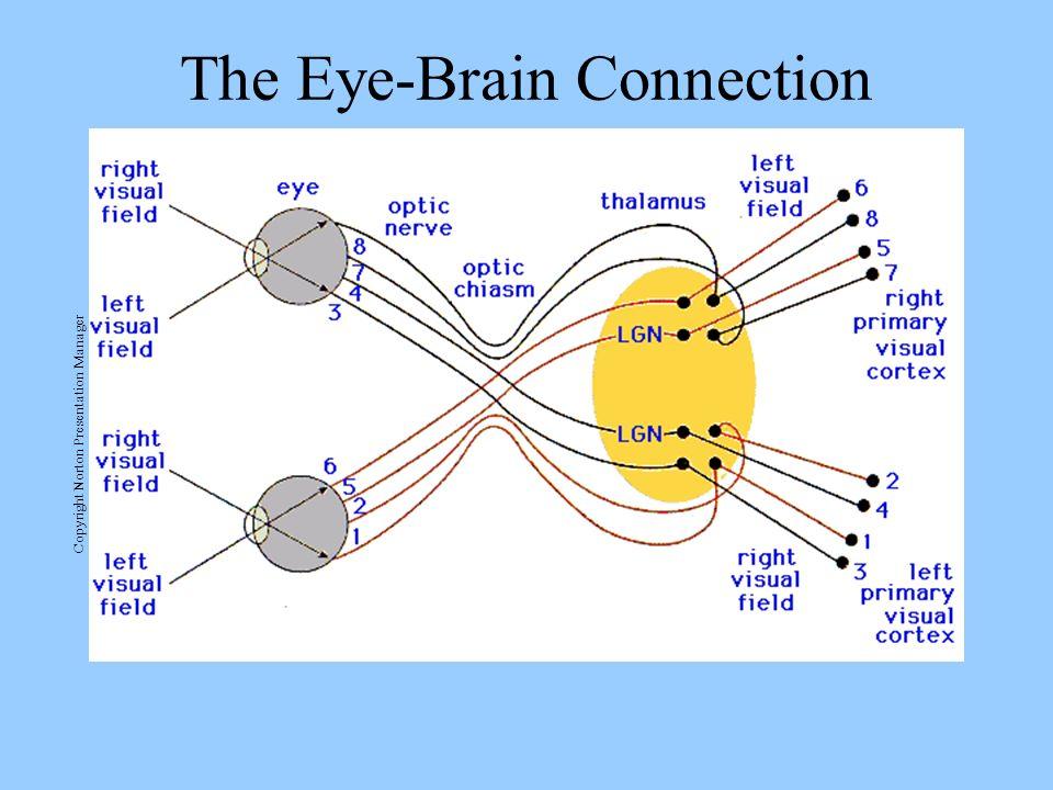 The Eye-Brain Connection Copyright Norton Presentation Manager