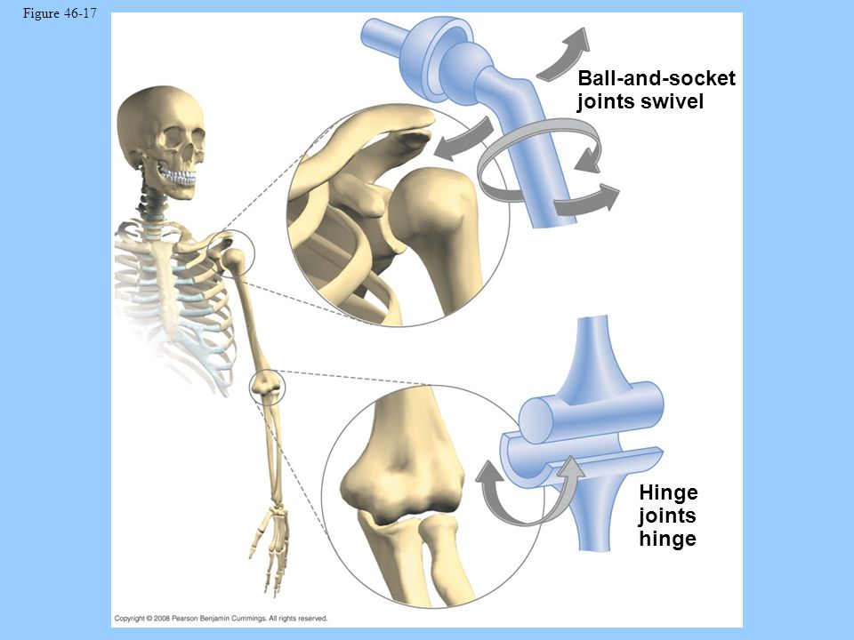 Figure 46-17 Ball-and-socket joints swivel Hinge joints hinge