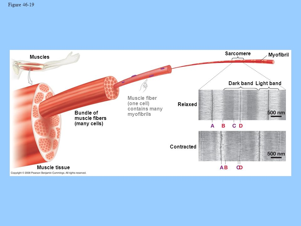Sarcomere Contraction And Relaxation Sarcomere Myofibril Dark Bandlight Band Relaxed Contracted Muscle Tissue