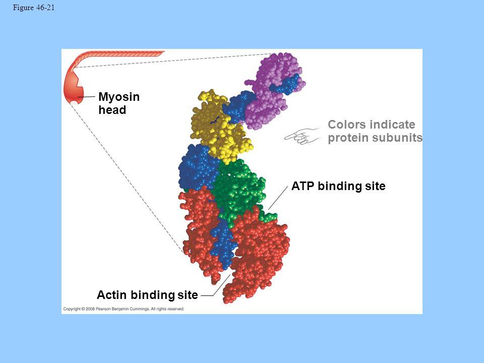 Figure 46-21 Myosin head Actin binding site ATP binding site Colors indicate protein subunits