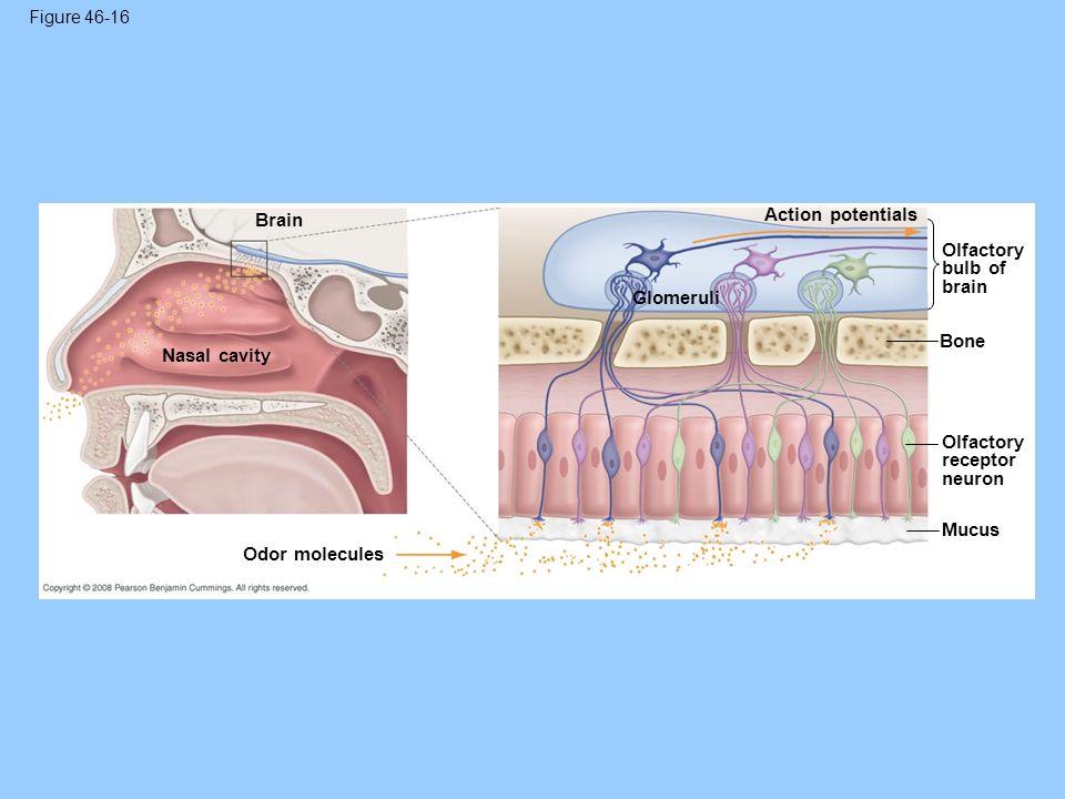 Figure 46-16 Brain Nasal cavity Odor molecules Glomeruli Action potentials Olfactory bulb of brain Bone Olfactory receptor neuron Mucus