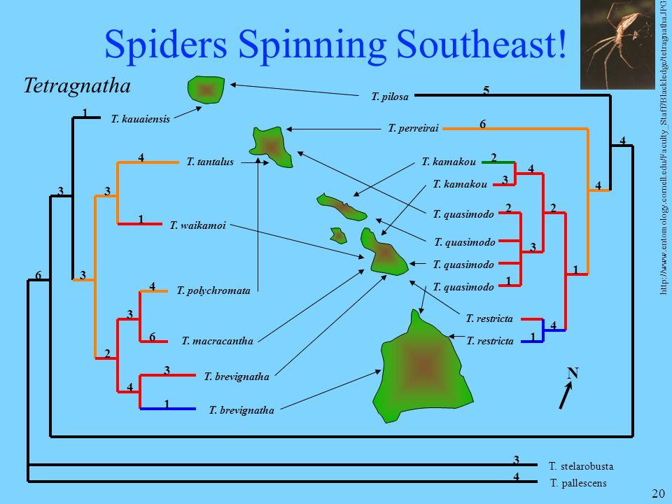20 Spiders Spinning Southeast! T. kauaiensis T. tantalus T. waikamoi T. polychromata T. macracantha T. brevignatha T. stelarobusta T. pallescens T. re