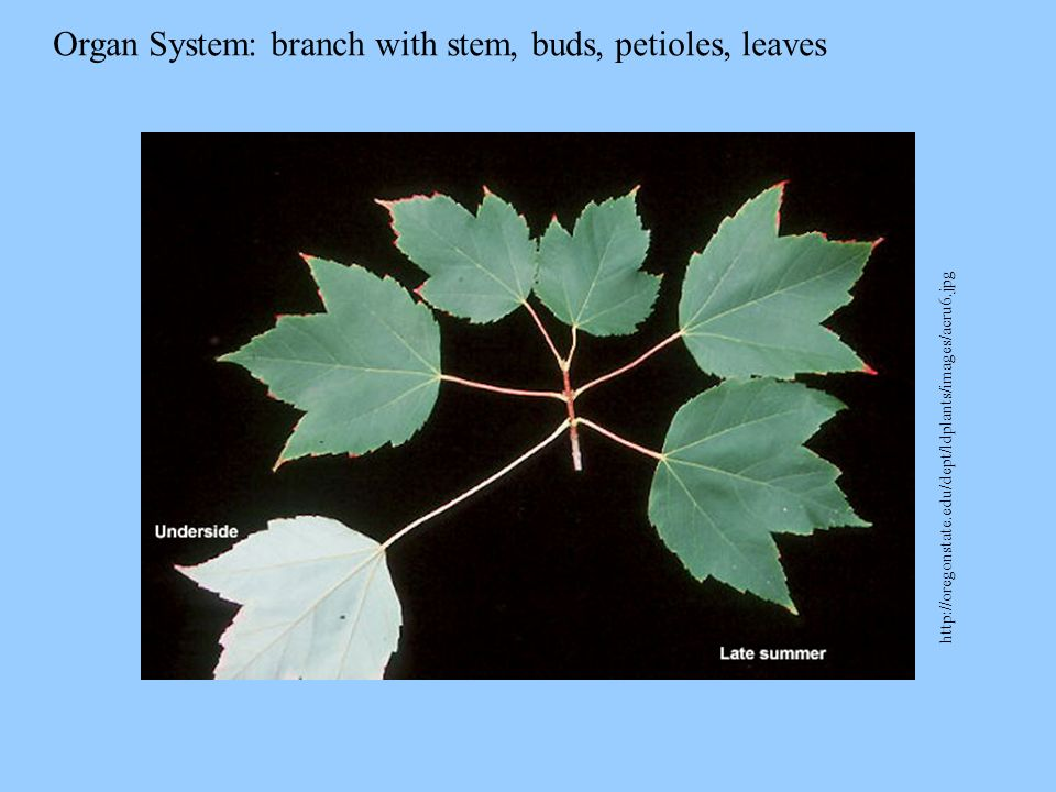 Organ System: branch with stem, buds, petioles, leaves http://oregonstate.edu/dept/ldplants/images/acru6.jpg
