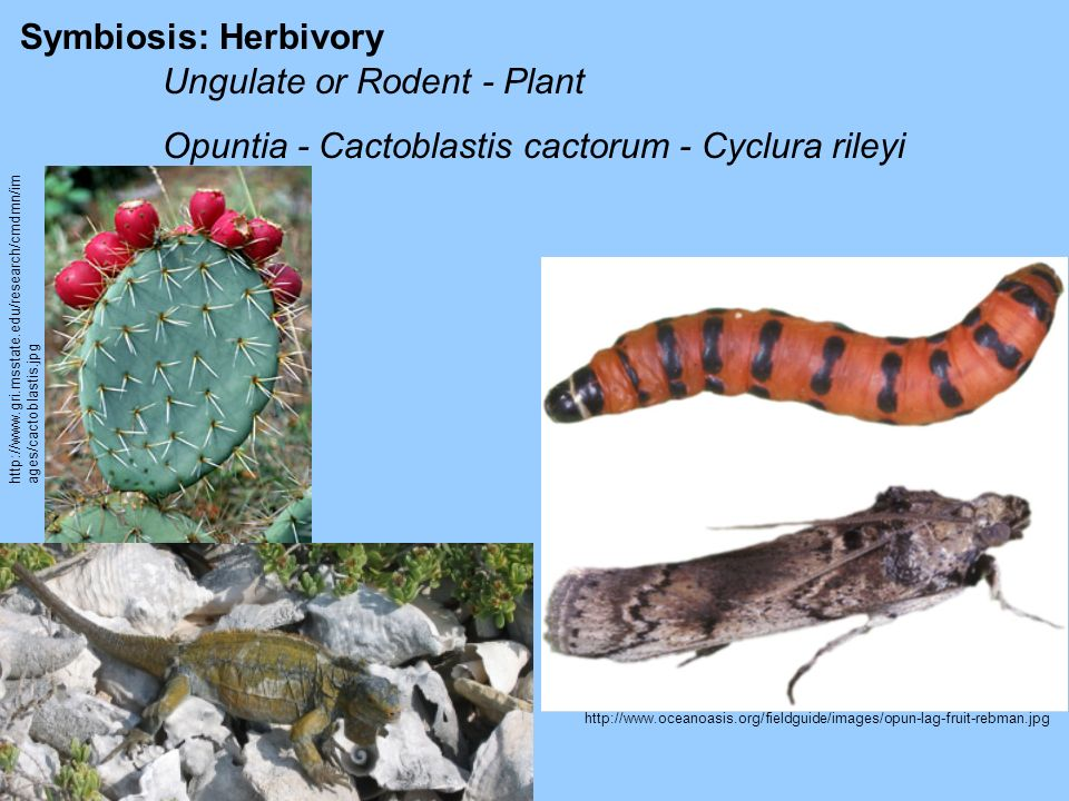 Symbiosis: Herbivory Ungulate or Rodent - Plant Opuntia - Cactoblastis cactorum - Cyclura rileyi http://www.gri.msstate.edu/research/cmdmn/im ages/cac