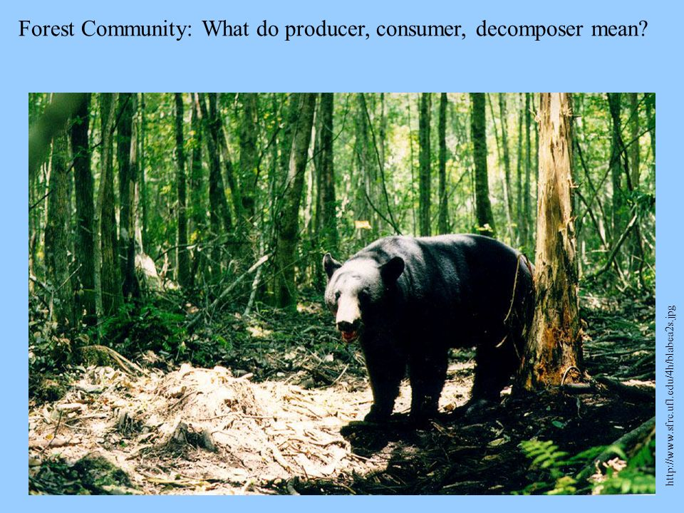 Forest Community: What do producer, consumer, decomposer mean? http://www.sfrc.ufl.edu/4h/blabea2s.jpg