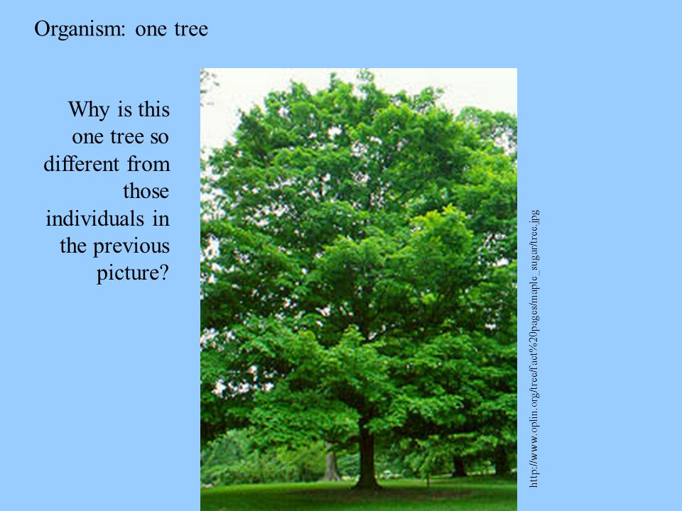 Organism: one tree http://www.oplin.org/tree/fact%20pages/maple_sugar/tree.jpg Why is this one tree so different from those individuals in the previou