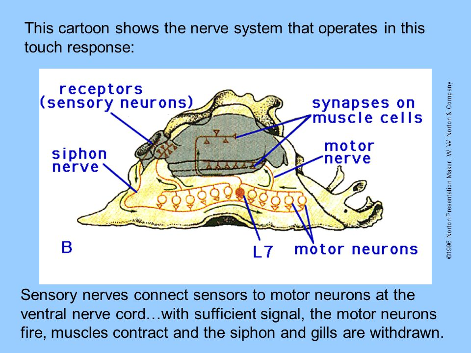 ©1996 Norton Presentation Maker, W. W. Norton & Company This cartoon shows the nerve system that operates in this touch response: Sensory nerves conne