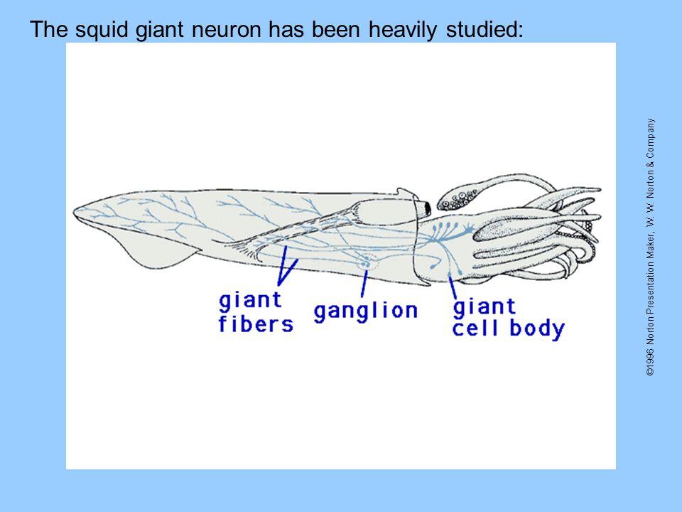 ©1996 Norton Presentation Maker, W. W. Norton & Company The squid giant neuron has been heavily studied: