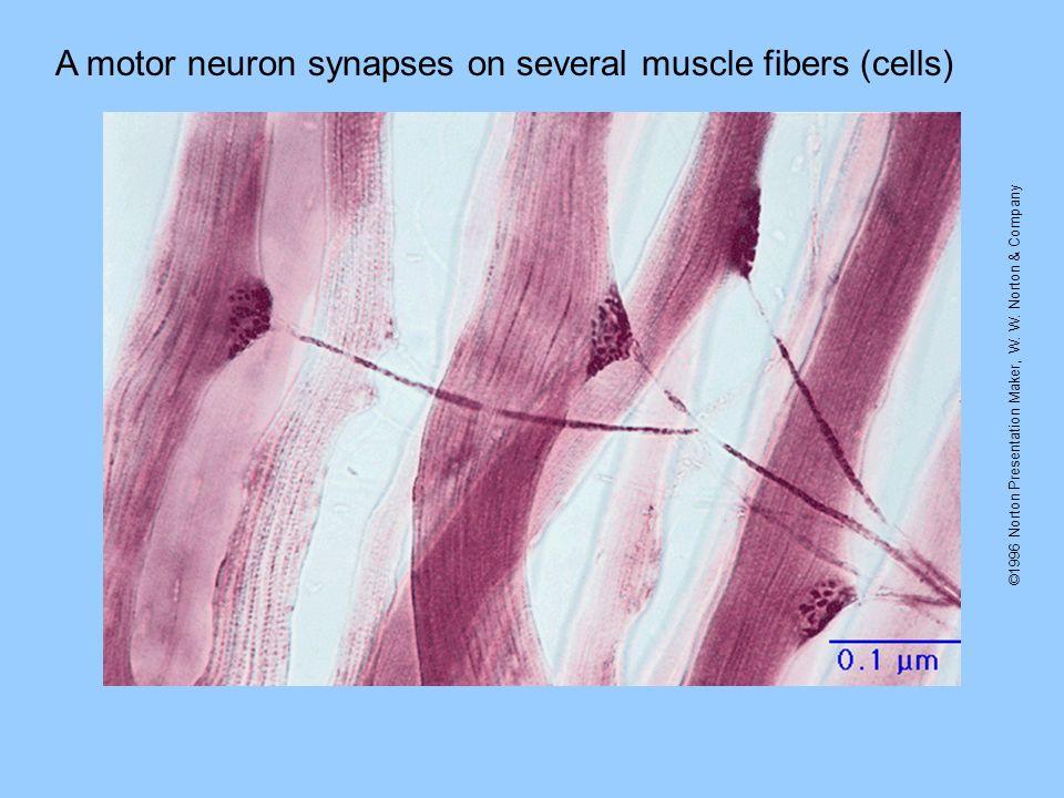©1996 Norton Presentation Maker, W. W. Norton & Company A motor neuron synapses on several muscle fibers (cells)