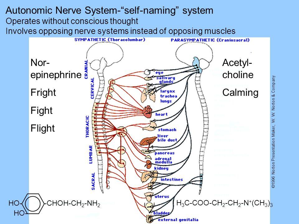 ©1996 Norton Presentation Maker, W. W. Norton & Company Nor- epinephrine Fright Fight Flight Acetyl- choline Calming Autonomic Nerve System-self-namin