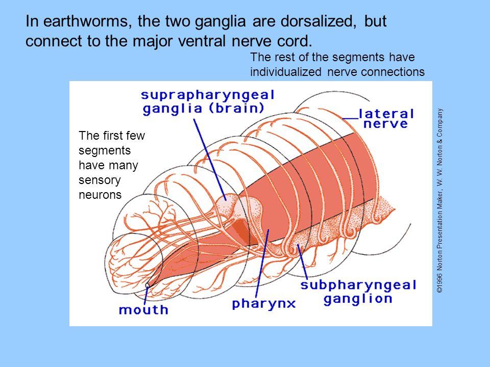 ©1996 Norton Presentation Maker, W. W. Norton & Company In earthworms, the two ganglia are dorsalized, but connect to the major ventral nerve cord. Th