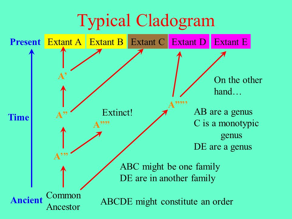 Typical Cladogram Common Ancestor Extant AExtant CExtant DExtant EExtant BPresent Ancient Time A A A A Extinct! A On the other hand… AB are a genus C