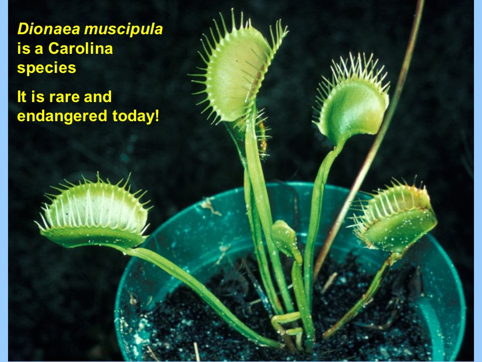 Dionaea muscipula is a Carolina species It is rare and endangered today!