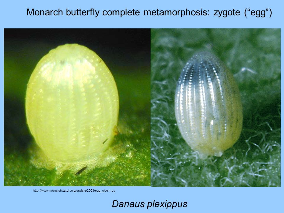 Monarch butterfly complete metamorphosis: zygote (egg) http://www.monarchwatch.org/update/2003/egg_glue1.jpg Danaus plexippus