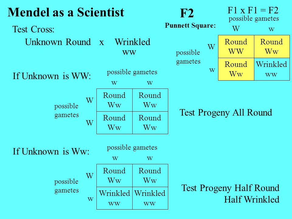Unknown RoundWrinkledx Mendel as a Scientist ww Round Ww Round Ww W Round Ww Round Ww W ww possible gametes F1 x F1 = F2 F2 Wrinkled ww Round Ww w Rou