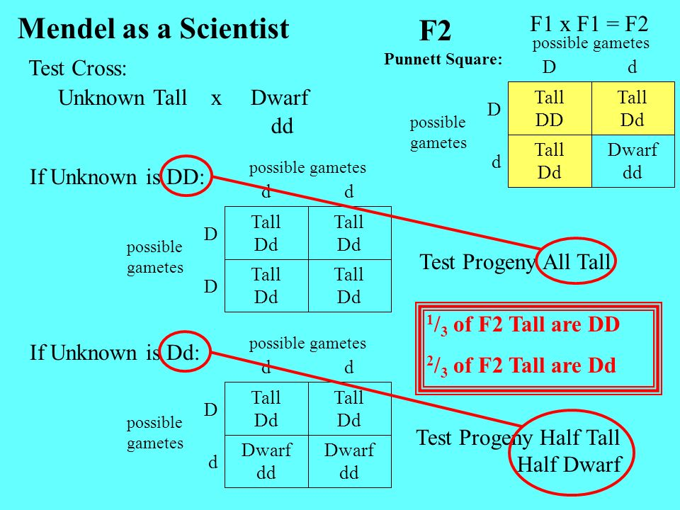 Unknown TallDwarfx Mendel as a Scientist dd Tall Dd Tall Dd D Tall Dd Tall Dd D dd possible gametes F1 x F1 = F2 F2 Dwarf dd Tall Dd d Tall Dd Tall DD