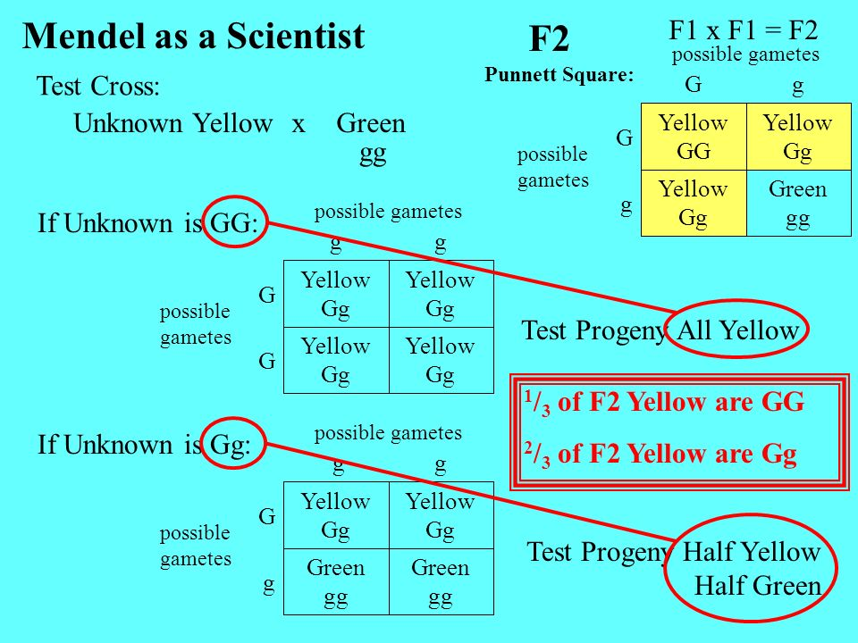 Unknown YellowGreenx Mendel as a Scientist gg Yellow Gg Yellow Gg G Yellow Gg Yellow Gg G gg possible gametes F1 x F1 = F2 F2 Green gg Yellow Gg g Yel