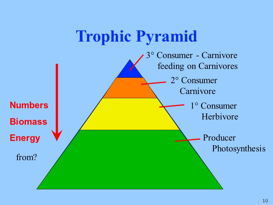 10 Trophic Pyramid 3° Consumer - Carnivore feeding on Carnivores 2° Consumer Carnivore 1° Consumer Herbivore Producer Photosynthesis Numbers Biomass Energy from