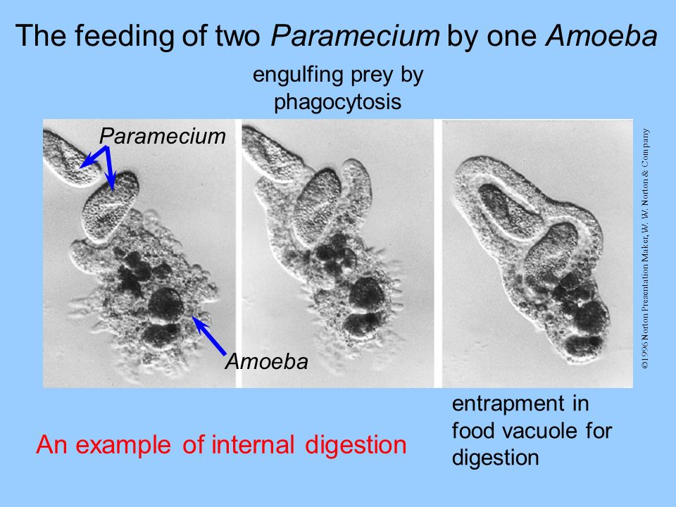 The feeding of two Paramecium by one Amoeba Paramecium Amoeba engulfing prey by phagocytosis entrapment in food vacuole for digestion An example of in