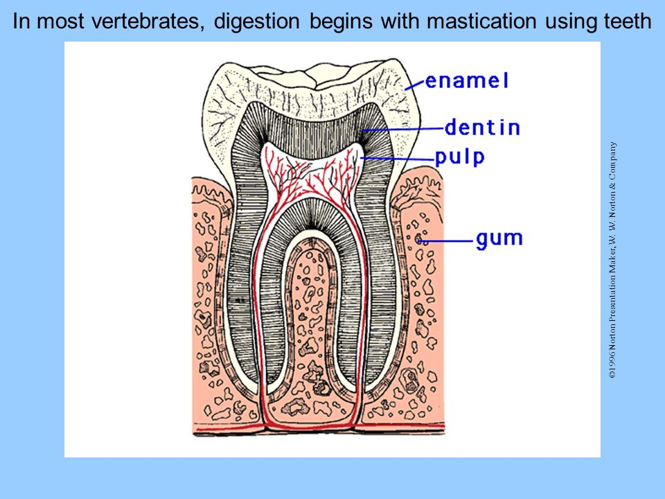 ©1996 Norton Presentation Maker, W. W. Norton & Company In most vertebrates, digestion begins with mastication using teeth