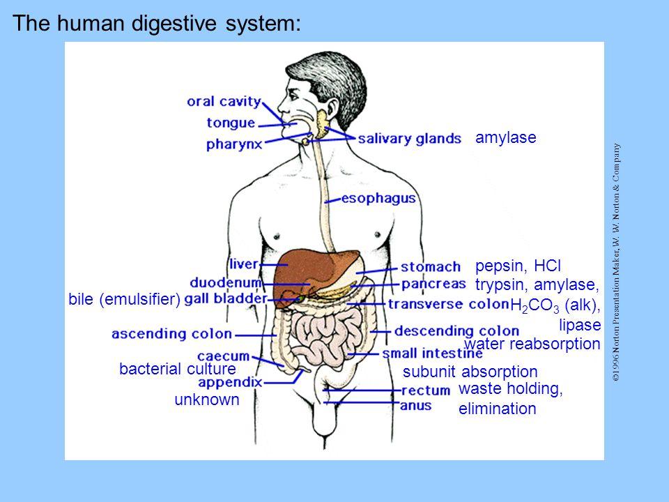 ©1996 Norton Presentation Maker, W. W. Norton & Company The human digestive system: amylase pepsin, HCl bile (emulsifier) trypsin, amylase, H 2 CO 3 (