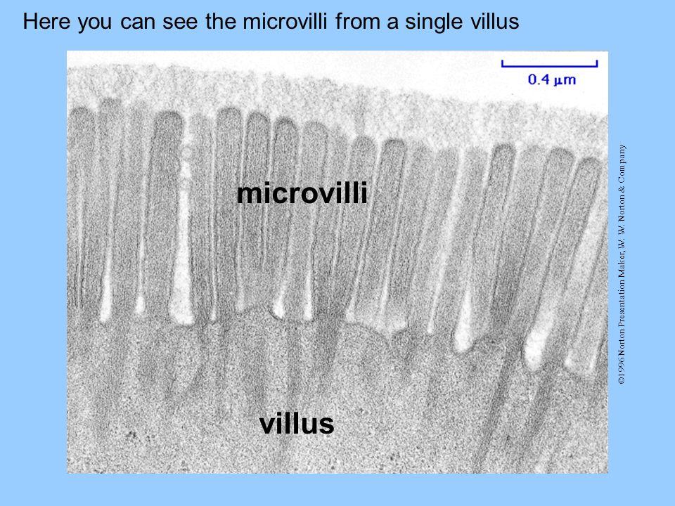 ©1996 Norton Presentation Maker, W. W. Norton & Company Here you can see the microvilli from a single villus villus microvilli