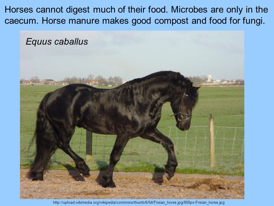 http://upload.wikimedia.org/wikipedia/commons/thumb/6/64/Frisian_horse.jpg/800px-Frisian_horse.jpg Horses cannot digest much of their food. Microbes a